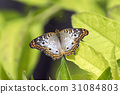 white, peacock, butterfly 31084803