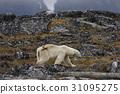 北极熊 哺乳动物 濒危物种 31095275