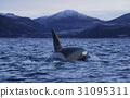 ปลาวาฬเพชรฆาต 31095311