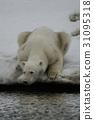 北极熊 哺乳动物 濒危物种 31095318