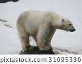 北极熊 哺乳动物 濒危物种 31095336