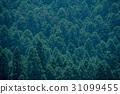 ต้นซีดาร์ญี่ปุ่น 31099455