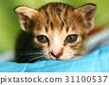 adorable cat kitten 31100537