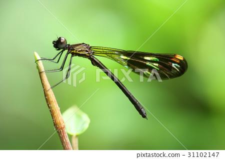 black dragonfly 31102147