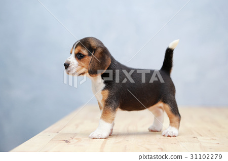 purebred beagle puppy is learning the world  31102279