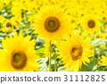 ดอกไม้,ทานตะวัน,ฤดูร้อน 31112825