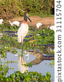 Jabiru stork bird on the nature in Pantanal 31115704