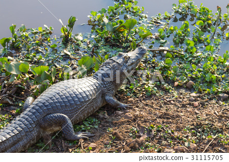 caiman which heats up in the morning sun. 31115705