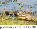 alligator, caiman, riverside 31115706