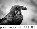Common Raven, black and white photo 31116849