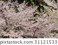 Beautiful Cherry blossom , white sakura flower 31121533