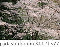 Beautiful Cherry blossom , white sakura flower 31121577