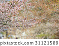 Spring Cherry blossoms, pink flowers. 31121589