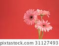 Pink Gebera flower bouquet on red background  31127493