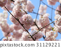 Japanese cherry blossom in spring 31129221