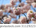 Japanese cherry blossom in spring 31129223