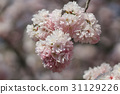 Japanese cherry blossom in spring 31129226