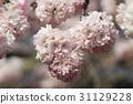 Japanese cherry blossom in spring 31129228