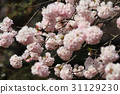 Japanese cherry blossom in spring 31129230