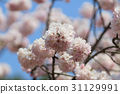 Japanese cherry blossom in spring 31129991