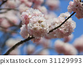 Japanese cherry blossom in spring 31129993