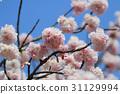 Japanese cherry blossom in spring 31129994