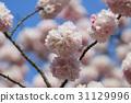 Japanese cherry blossom in spring 31129996