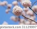 Japanese cherry blossom in spring 31129997