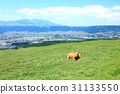 cow, cattle, cows 31133550