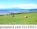 cow, cattle, cows 31133551