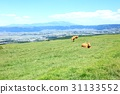 cow, cattle, cows 31133552