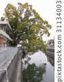 大阪縣 古老的河 大樹 31134003