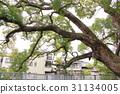 大阪縣 古老的河 大樹 31134005