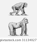 western or mountain gorilla and chimpanzee hand 31134027