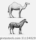 camel and zebra hand drawn, engraved wild animals 31134029