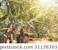 olives on the olive trees in farm 31136303