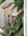 สัตว์,สัตว์ต่างๆ,แมว 31136360