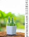 cactus 31138141