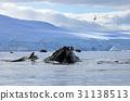 Humpback whale head 31138513