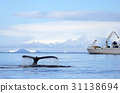 Humpback whale tail with ship, boat 31138694