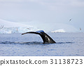 Humpback whale tail 31138723