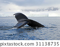 Humpback whale tail 31138735