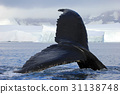 Humpback whale tail 31138748