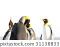 國王 企鵝 動物 31138833