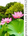lotus, bloom, blossom 31139912