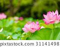 lotus, bloom, blossom 31141498