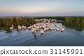 white pelicans (pelecanus onocrotalus) 31145991