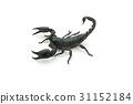 Closeup Scorpion isolated on white background 31152184