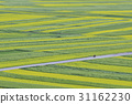 유채밭,중국 31162230