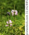 꽃, 꽃범의꼬리, 나비 31162885